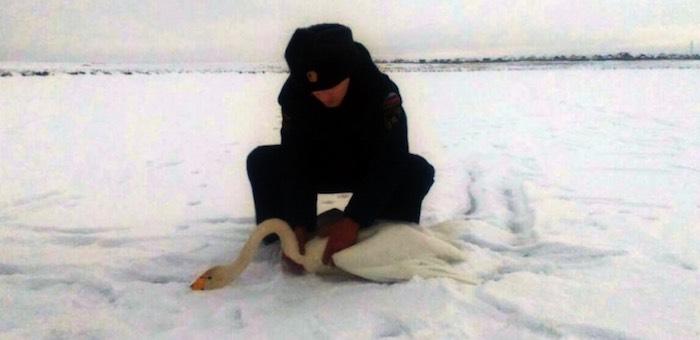 В Кош-Агаче спасли отбившегося от стаи лебедя