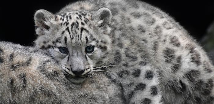 Уникальные кадры: ученые обнаружили снежного барса с четырьмя котятами