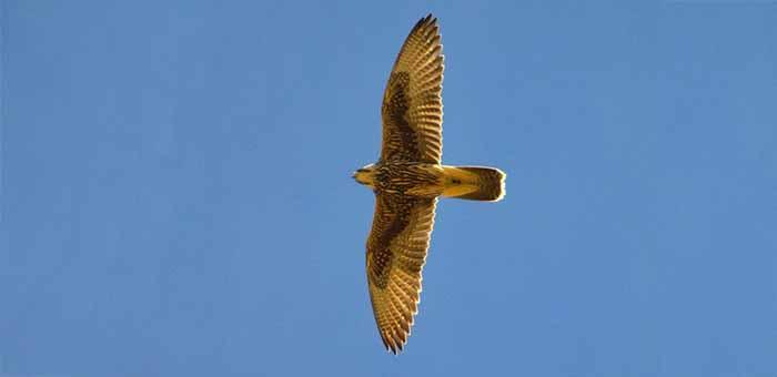 Жители Ташанты поймали пять краснокнижных соколов, приманив их голубем