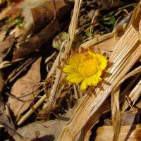 Первые цветы появились в Алтайском заповеднике