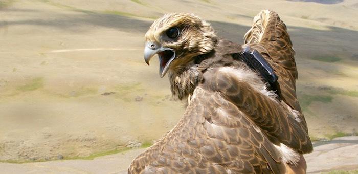 Алтайский сокол-балобан погиб в Китае из-за линии электропередач