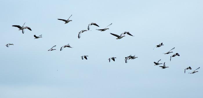 На Алтае застрелят 40 перелетных птиц для выявления птичьего гриппа
