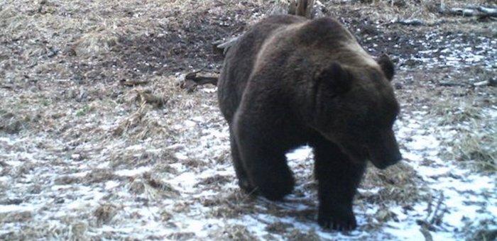 Как в алтайской тайге рычит проснувшийся медведь. Видео
