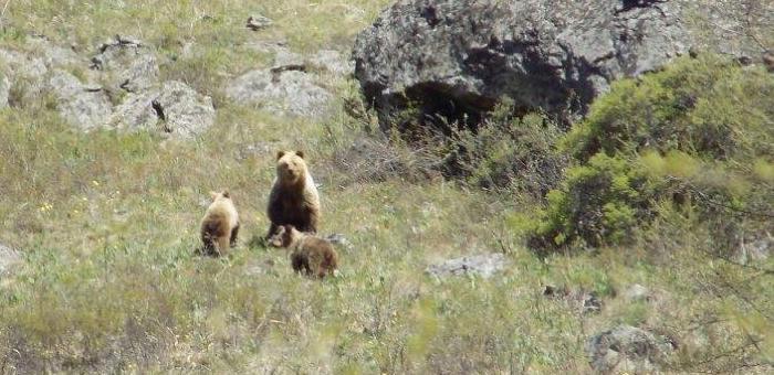 В Катунском заповеднике обитает почти 210 медведей