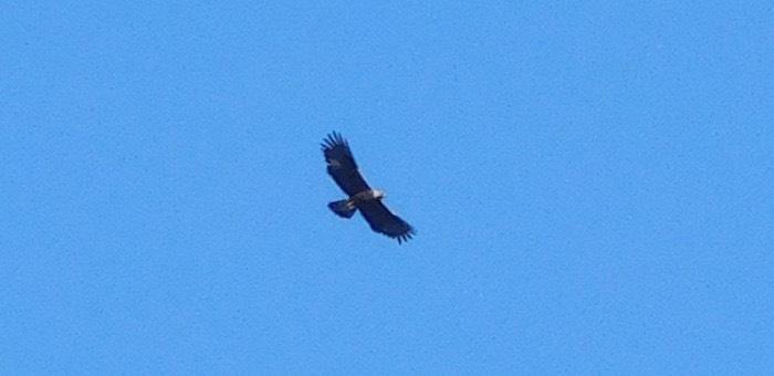 В Катунском заповеднике обнаружен орел-могильник
