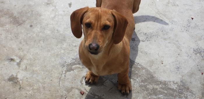 Житель Мариинска увел чужую таксу, чтобы заработать на разведении щенков