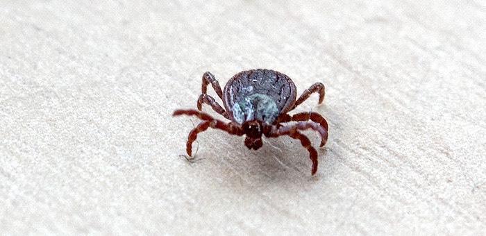 Более тысячи человек пострадали от укусов клещей на Алтае