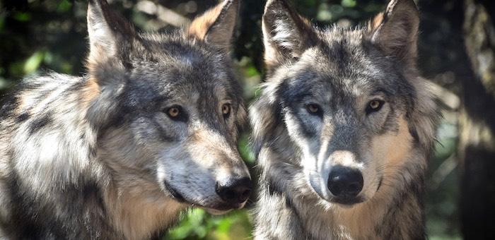 Ученые изучают трансграничную группировку волков на Алтае