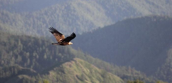 Орла-карлика обнаружили в Горном Алтае