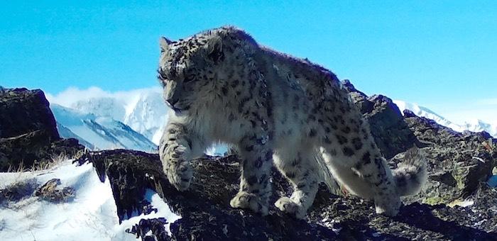Получены новые снимки снежных барсов с плато Укок