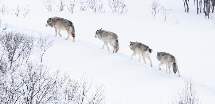 Более 400 волков добыли охотники на Алтае
