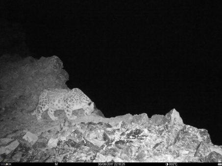 На Шапшальском хребте впервые удалось сфотографировать снежного барса и манула