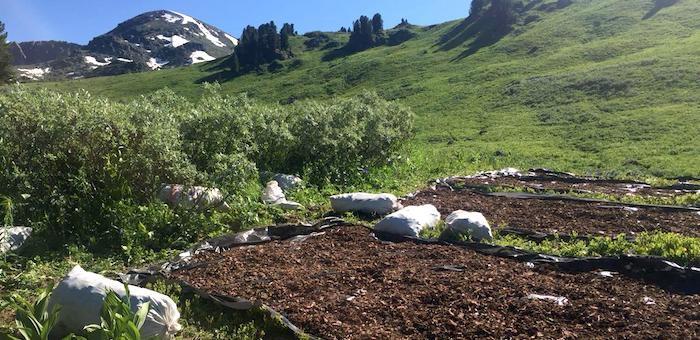 Преступники выкопали в горах Алтая почти две тонны «золотого корня»