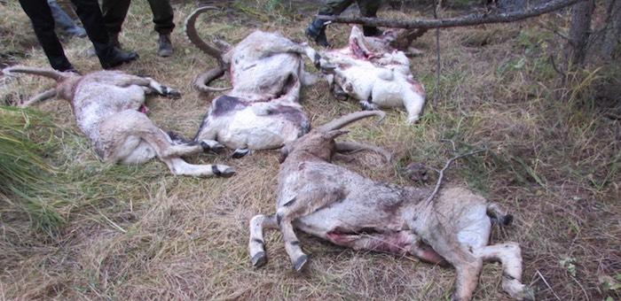 Кош-агачским чиновникам удалось избежать ответственности за охоту на козерогов
