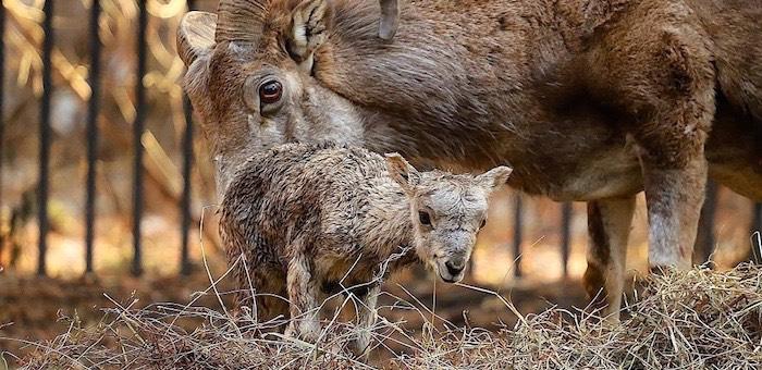 Рожденных в новосибирском зоопарке аргали выпустят на волю в Горном Алтае