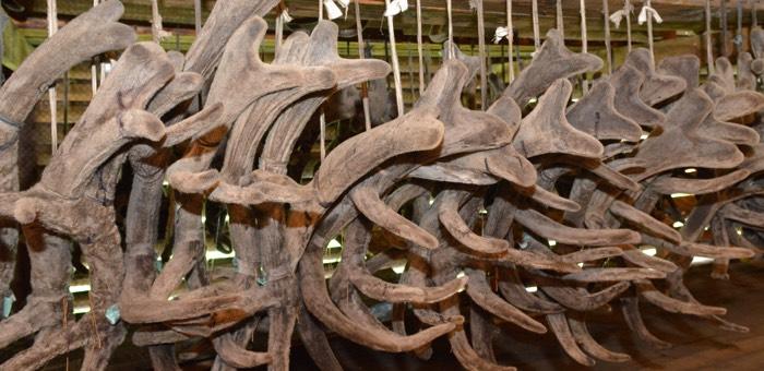 Шебалинцы украли у работодателя 15 килограммов пантов