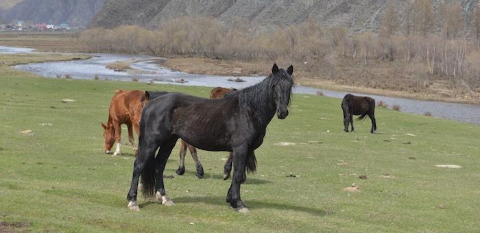 Владелец табуна отдал в счет долга чужих лошадей, прибившихся к его стаду