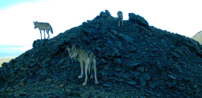 490 волков добыли охотники на Алтае с начала года