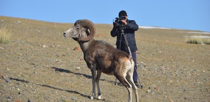 Конкурс на имена аргали из новосибирского зоопарка объявил Сайлюгемский парк