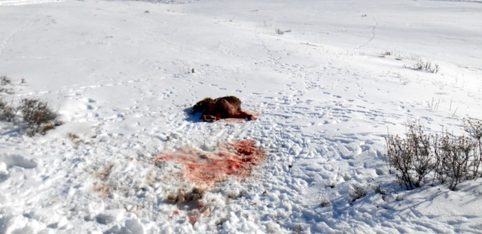 Полтора миллиона взыщут с охотника, застрелившего трех архаров