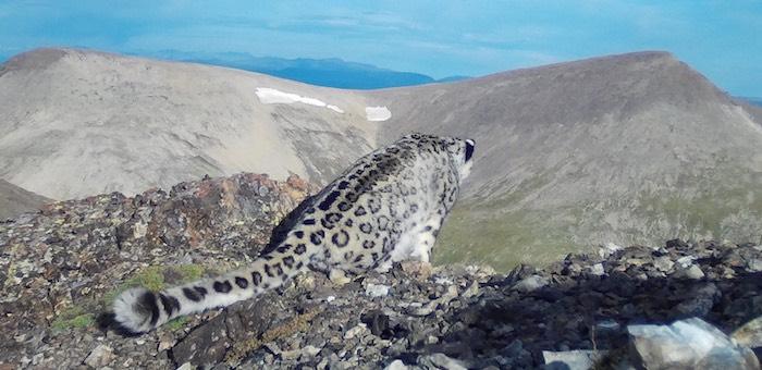 Гута вернулась: не менее пяти снежных барсов обнаружили исследователи на хребте Чихачева