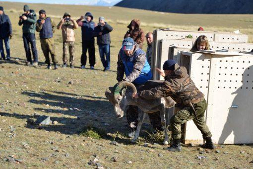 Как аргали из зоопарка обрели свободу на Алтае. Фотоотчет