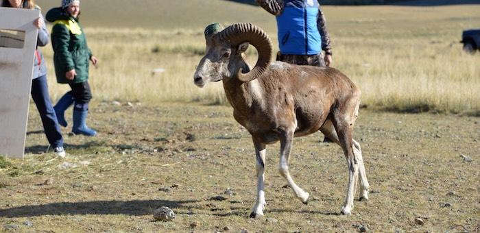 Ирбизек, Талисман, Султан и Айхан: аргали из зоопарка получили имена
