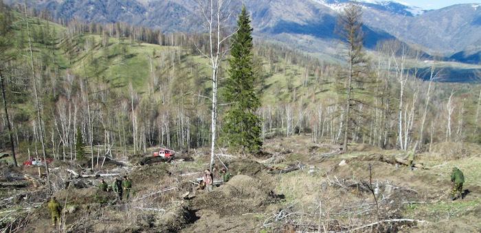 В Горном Алтае высажено около полумиллиона кедров