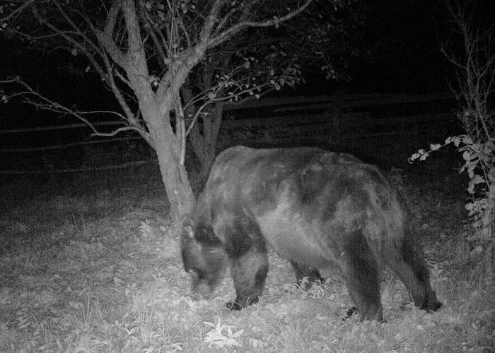 Перед зимней спячкой медведи собрали урожай в заповедных садах