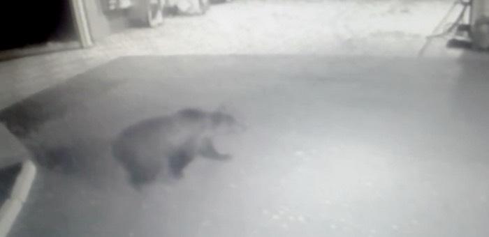 На Алтае медведь разворотил УАЗ и прогулялся по заправке (видео)
