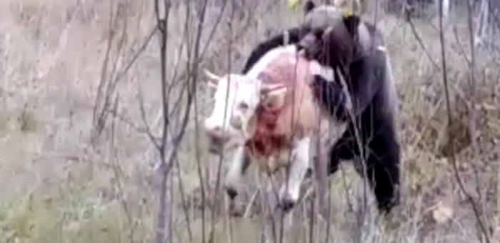 В алтайской тайге медведь задрал бычка. Внимание, видео не для слабонервных