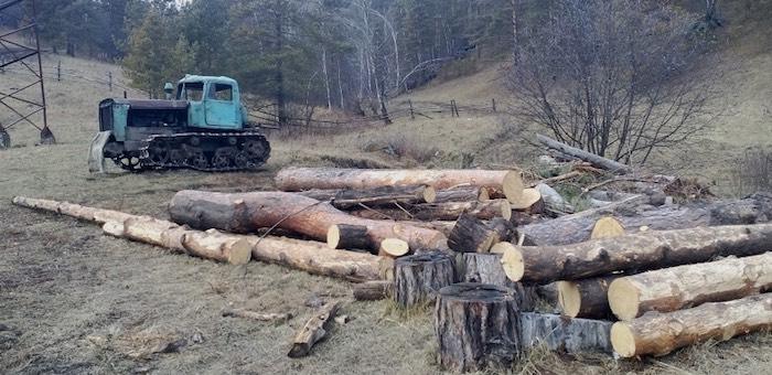 Еще одна незаконная рубка леса в особо крупном размере выявлена в Чемальском районе