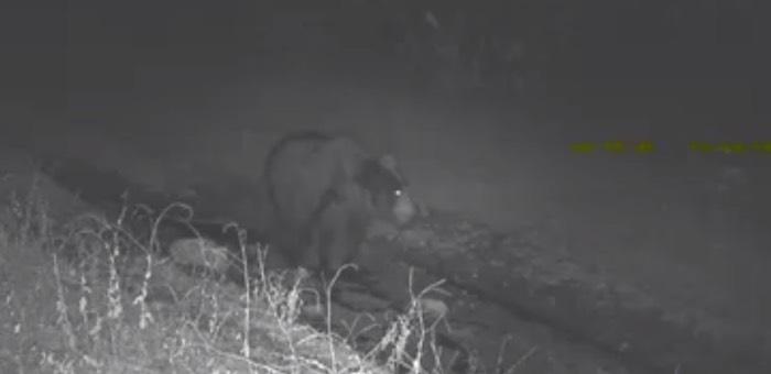 Как медведь в лужу сел: уникальные видеокадры из Алтайского заповедника