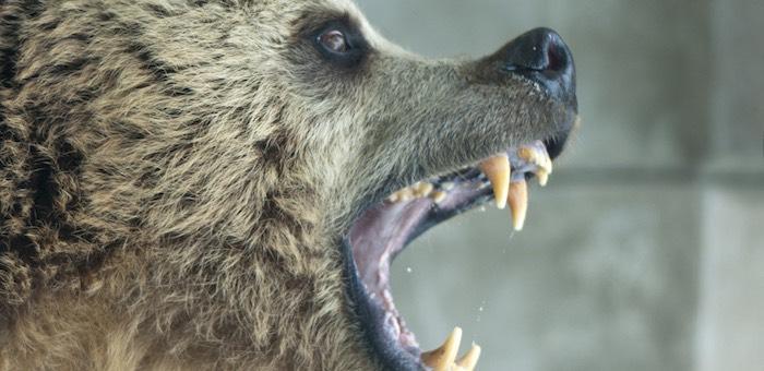 В Аргуте медведь напал на женщину, потом его подкараулили и застрелили