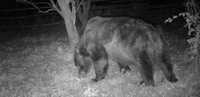 Крупный медведь бродит в окрестностях Яйлю