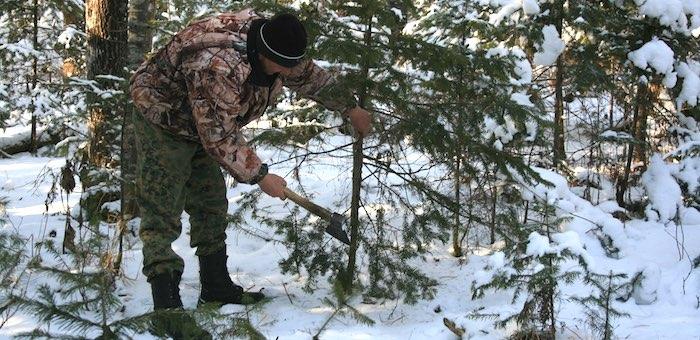 Более 12 тысяч новогодних елей заготовят в этом году на Алтае
