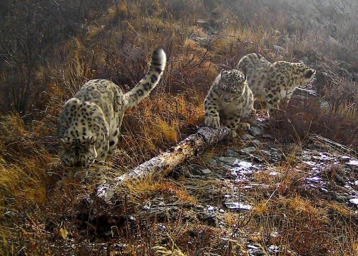 Сама милота: новые кадры снежных барсов получены на Алтае