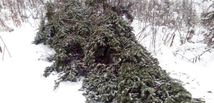 142 молоденькие пихты срубили жители Алтайского края в турочакской тайге