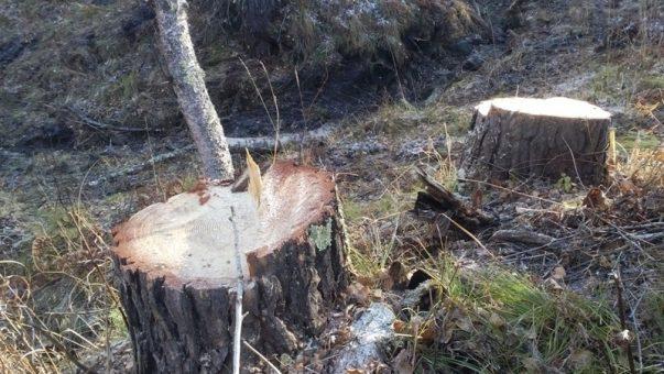 В Чемальском районе с поличным задержаны «черные лесорубы»