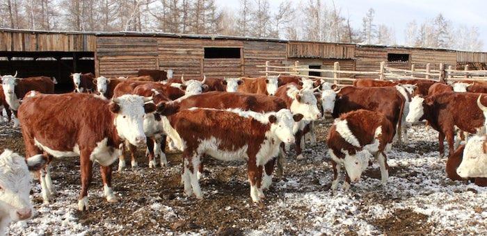 Зимовка скота проходит в штатном режиме