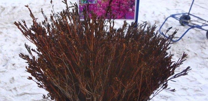 В Новосибирске начали торговать ветками рододендрона с Алтая