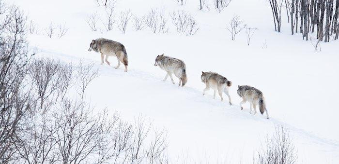 602 волка застрелили в прошлом году на Алтае