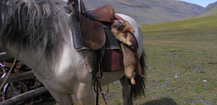 Продлен запрет охоты на сурков – каждый третий зверек заражен чумой