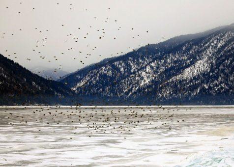 Сотни свиристелей слетелись к Телецкому озеру. Фотозарисовка
