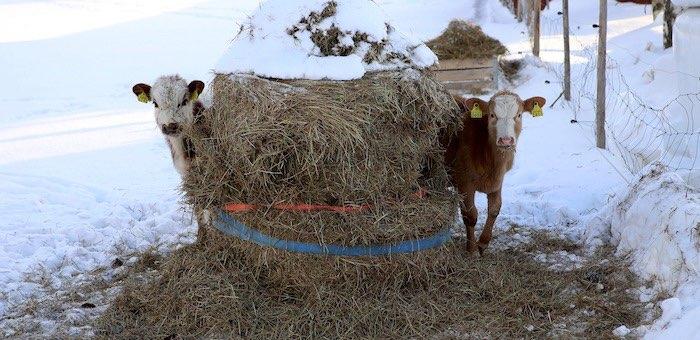 Энергетики оправдали коров в деле о хищении электроэнергии и выписали штраф их хозяевам