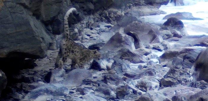 Барс, гуляющий сам по себе. Новые кадры ирбиса из Сайлюгемского парка