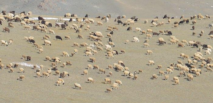 14 чужих овец прибились к стаду: сельчанку обвинили в краже