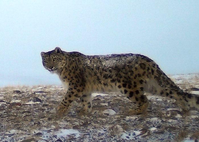 Долина Аргута на Алтае стала раем для снежных барсов