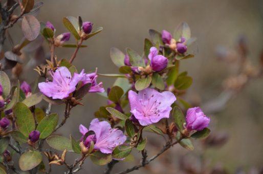 Первые цветы маральника распустились в Чемале. Фотозарисовка