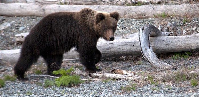 На Алтае медведи уже выходят из зимней спячки